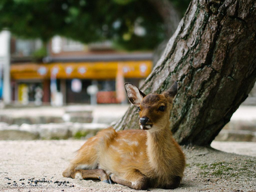 Ciervos sagrados - Miyajima
