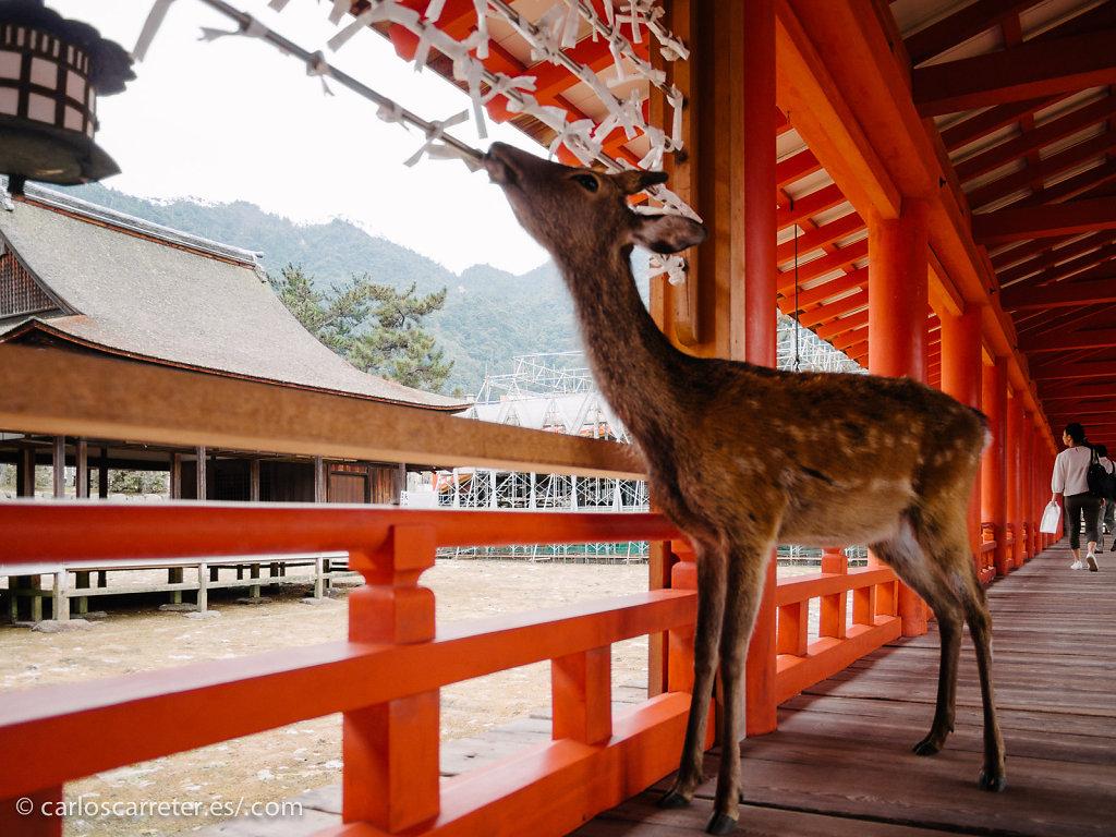 Ciervo sagrado en Itsukushima - Miyajima