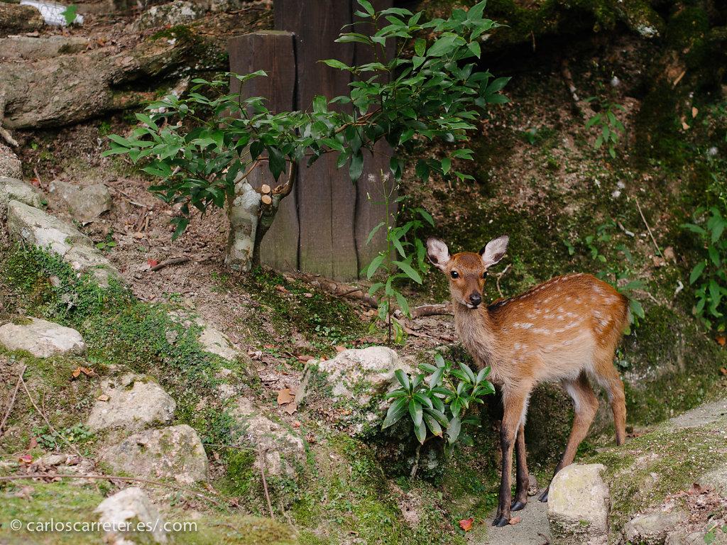 Ciervo sagrado en el bosque de Utsukushima - Miyajima