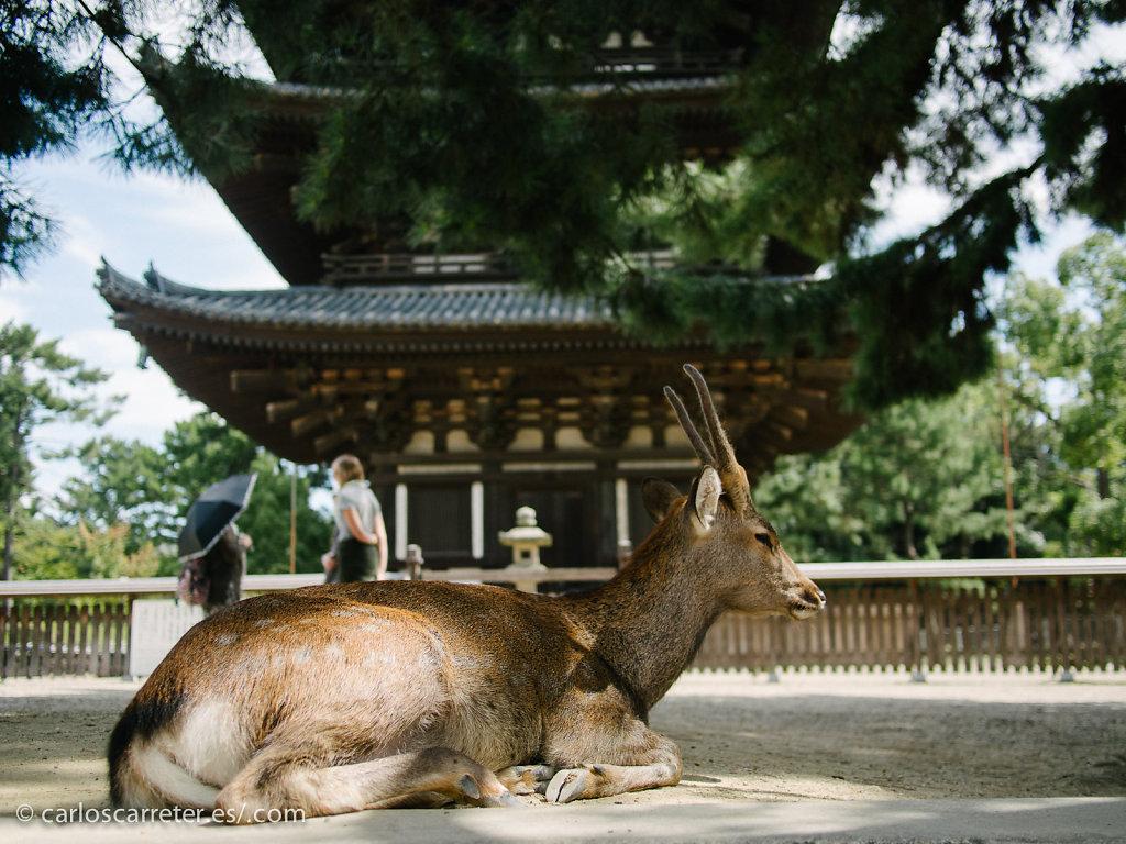 Ciervo sika ante la pagoda de Kofuku-ji - Nara