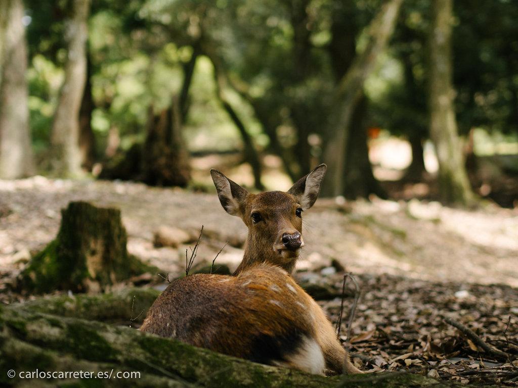 Ciervo sika en el parque de Nara